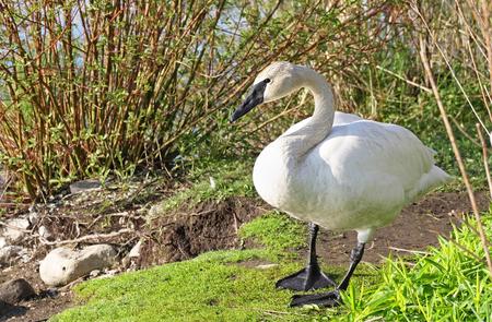 trumpeter swan: Wild Trumpeter Swan standing in natural habitat