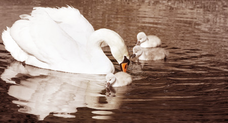 motherly: Beautiful Mute Swan with her 3 day old baby cygnets swimming on calm waters  sepia vintage tone Stock Photo
