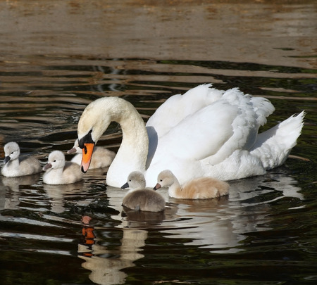 motherly love: Beautiful Mute Swan with her 5 young babies swimming together on calm waters