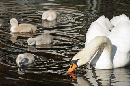 beaks: Mute Swan with her young cygnets swimming and dipping their beaks in the water