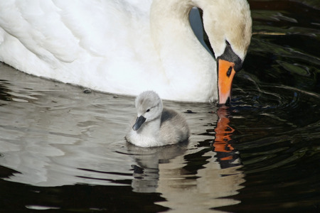 motherly love: Beautiful Mute Swan with her 3 day old baby cygnet