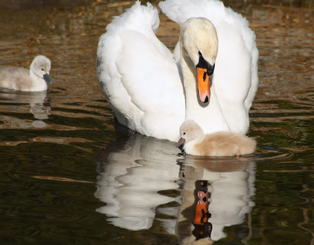 Beautiful Mute Swan looks on lovingly at her tiny Cygnet.   Its 3 day old sibling swims close by