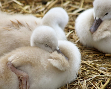 Adorable 5 day old baby Mute swans nestled together cozy and content photo