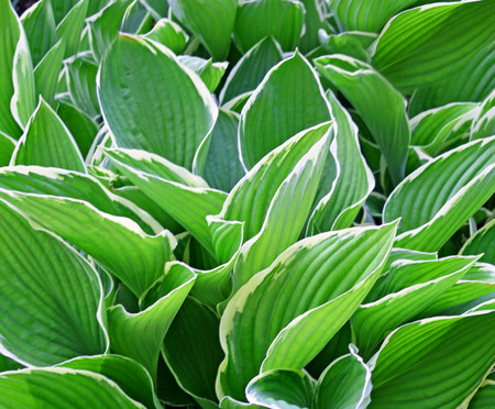 Thick lush green leaves of the Hosta plant   a garden favorite