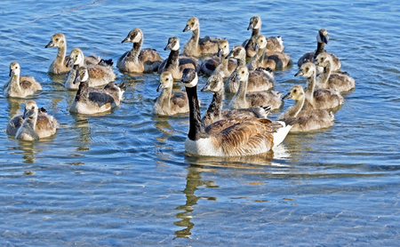 blue waters: Mother Canada Goose swimming on beautiful blue waters with her 19 Goslings following closely behind