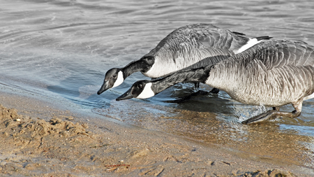 together with long tie: ITS NECK AND NECK - two Canada Geese racing to reach the Beach - fading to gray