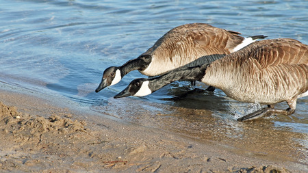 together with long tie: ITS NECK AND NECK - two Canada Geese racing to reach the Beach