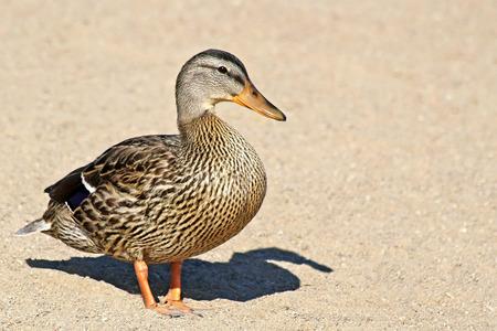 duck feet: One solitary Mallard duck walking on sandy beach Stock Photo
