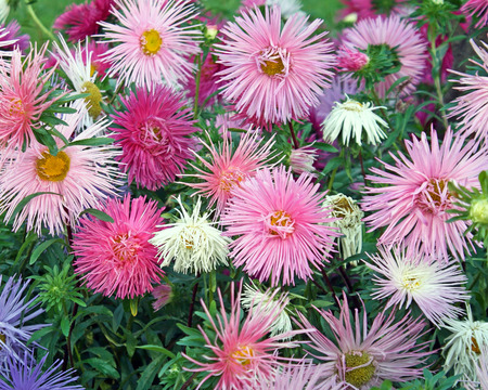 pastel colours: Flores delicadas y delicadas en colores pastel suaves del flor ASTER - una planta perenne de jard�n