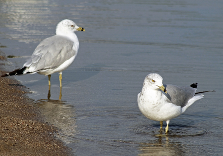 shore line: Pair of Seagulls standing in calm waters along shore line of lake