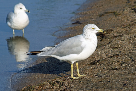shore line: Two common Seagulls standing along shore line of sandy beach