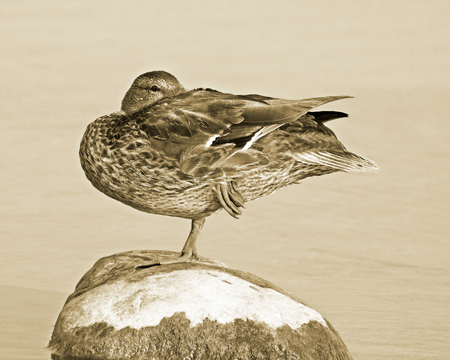 large rock: Mallard duck balancing on one leg on top of large rock.  Sepia tone