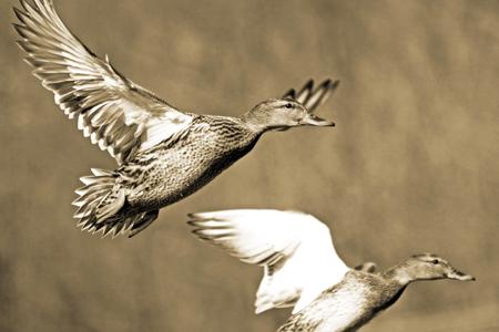 fleeing: Two Mallard ducks fleeing from hunters.  Sepia tone