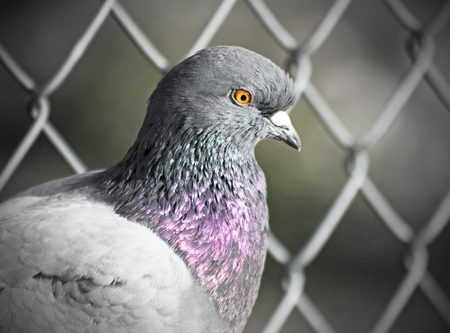 caged: Close up of a Caged Pigeon