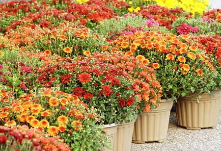 mums: Colorful Garden Mums For Sale Stock Photo