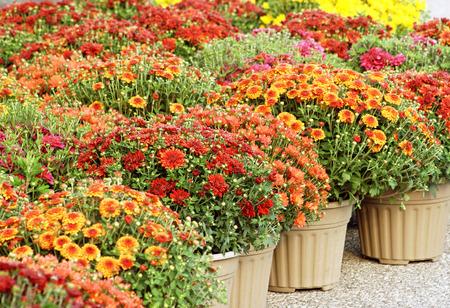 envases plasticos: Las mamás de jardín coloridas para la venta Foto de archivo