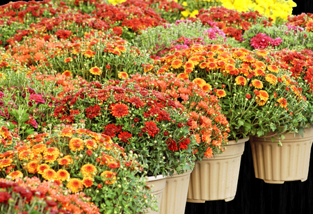 mums: Colorful Garden Mums for Sale - isolated on a black background