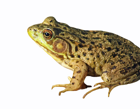 bumpy: The GREEN FROG isolated on a white background Stock Photo