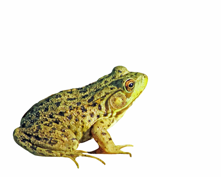 webbed feet: The GREEN FROG isolated on a white background Stock Photo