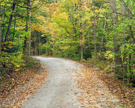 yellow trees: Secluded walking trail going into the woods.  Beautiful trees with autumn colors of yellow, green and gold line the path