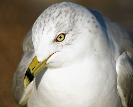 eyes looking down: Close up of a beautiful Ring-Billed seagull with its distinctive beak and yellow eyes.  Head slightly tilted downwards