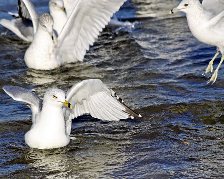 flapping: Group of Seagulls swimming and flapping their wings in beautiful blue refreshing waters