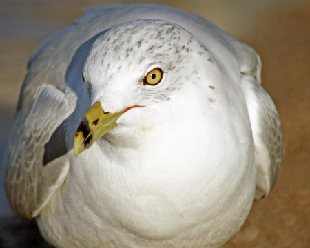 distinctive: Close up of the Ring Billed Seagull with its distinctive beak and yellow eyes