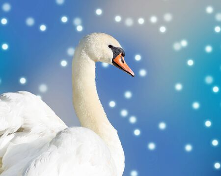mute swan: Beautiful elegant Swan against a falling snow and blue sky background