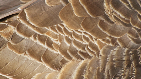canada goose: Layers of textured feathers of the Canada Goose Stock Photo