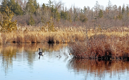 canada goose: One Canada Goose swims calmly along the banks of untouched Wetlands Stock Photo