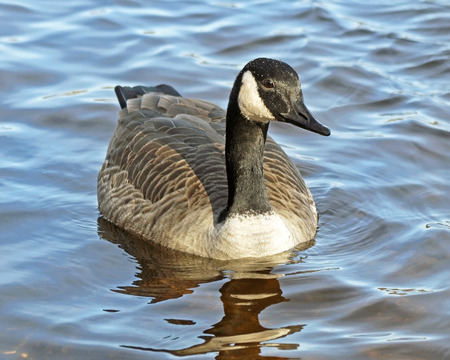 rippling: The Canada Goose swimming on blue rippling waters