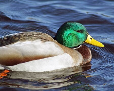 distinctive: Close up of a Mallard duck male with its distinctive green head and bright yellow beak
