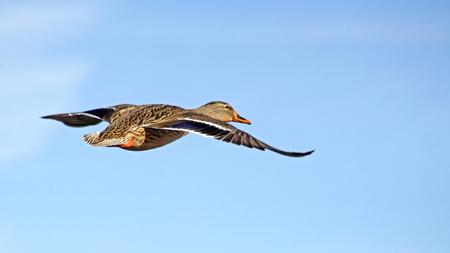 mallard duck: Mallard duck female flying free against a bright blue sky