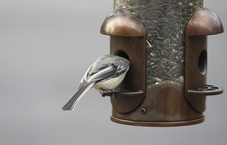 bird feeder: Chickadee eating from an outdoor bird feeder with its head inside feeder Stock Photo