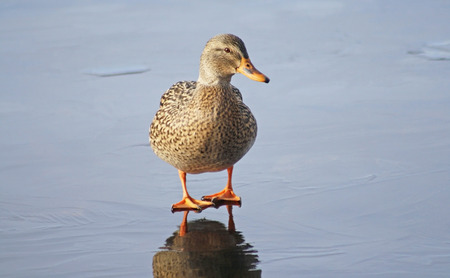 one female: One tiny Mallard duck female standing alone on the icy surface of a frozen pond