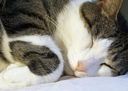 Cozy and content - the family cat sleeping soundly on his pillow