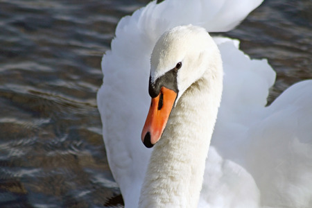 an feather: Beautiful Mute Swan posing and looking at camera