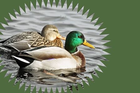 an feather: Breeding Pair of Mallard Ducks swimming on calm waters Stock Photo