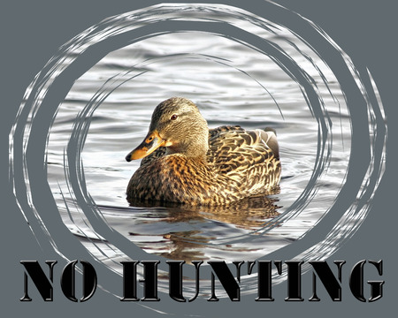 an feather: NO HUNTING caption with a gentle Mallard duck female swimming on calm waters Stock Photo