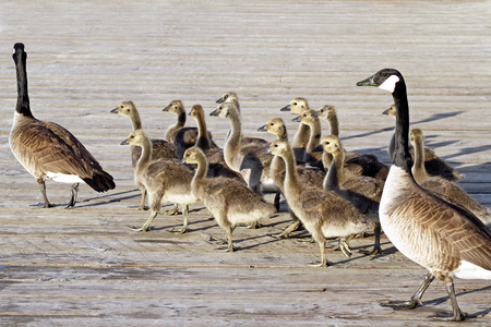 caminar: Par de gansos de Canadá adultas jóvenes llevan sus polluelos a través del paseo marítimo Foto de archivo