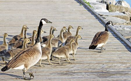 leading the way: Pair of Adult Canada Geese lead their young goslings across the Boardwalk