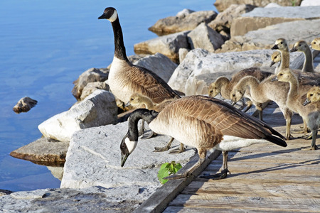 followers: Pair of Adult Canada Geese lead their young goslings over a rocky ledge towards the water Stock Photo