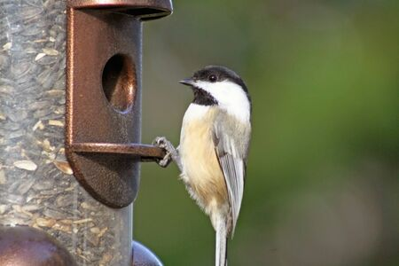 filled: Chickadee at bird feeder filled with seed Stock Photo