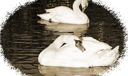 preen: Beautiful Mute Swans preening their feathers while floating on waters surface.  Sepia tone and vintage look border Stock Photo
