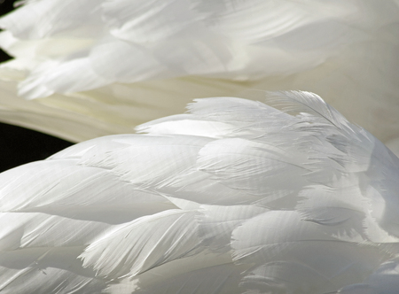 mute swan: The layered wispy white feathers of a Mute Swan