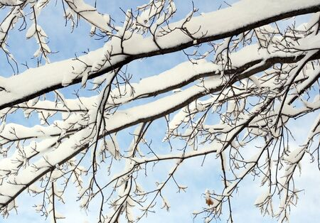 freshly fallen snow: Freshly fallen snow captured on a tree branches against a bright blue winter sky Stock Photo