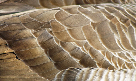 canada goose: Textured layers of feathers of the Canada Goose
