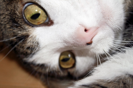 nose close up: Close up of a cat face with a cute pink nose with beauty mark Stock Photo