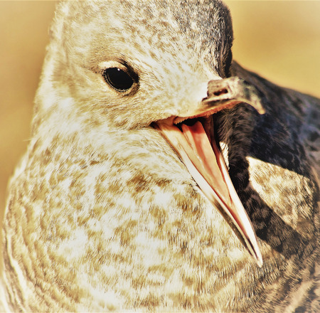 Young seagull with beak wide open - sepia tone