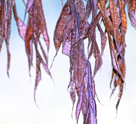 Dried and withered leaves hanging from tree Stock Photo